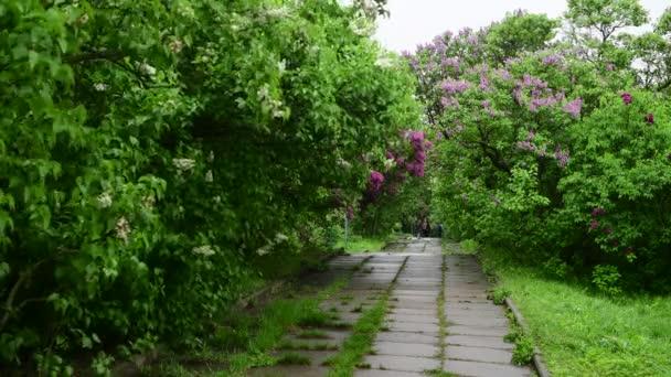 Lila kerti fák alatt az eső természet tavaszi idő Botanica 4k videó