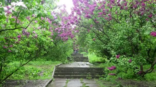 Flieder Garten Bäume unter dem Regen Natur Frühling Botanik 4k Video
