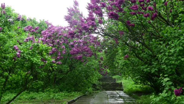 Lilac zahradní stromy pod pružinou čas jara botanika 4k video