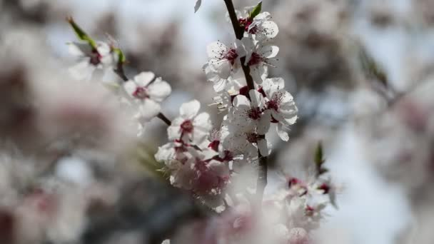 Nice spring collection tree branches with white flowers apricot nature awekening close up 4k video
