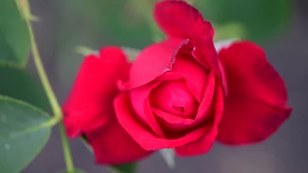 Červená žlutá růže v zahradě přírodní Flóra 4k video