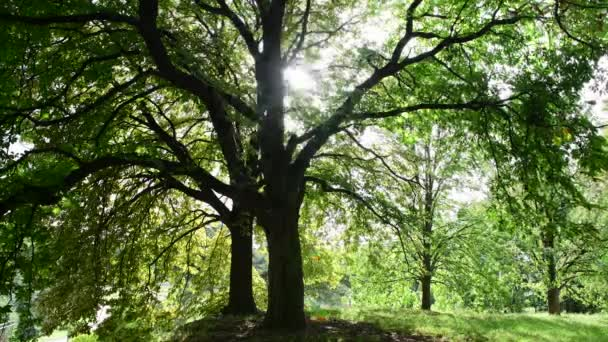 Sunlights breaking trough the green chestnut tree leaves natural background 4k video