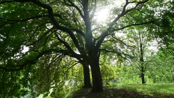 Sluneční světla rozbíjení zeleného kaštanového stromu zanechává přirozené pozadí 4k video