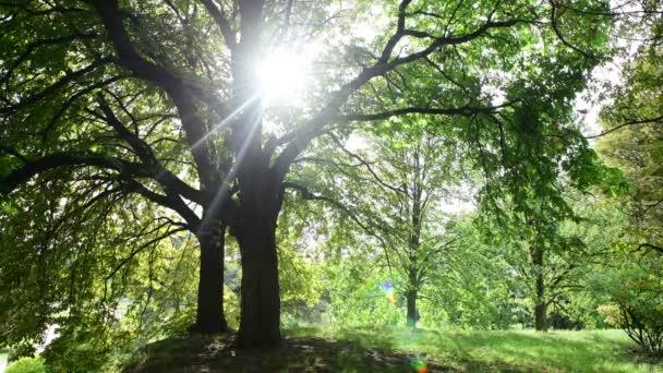 Napfényeket Breaking vályú a zöld gesztenye fa elhagyja a természetes háttér 4k videó