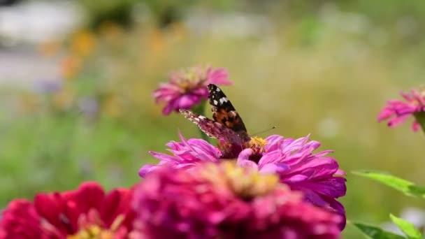 Vanessa cardui motýl barva letní květy přírodní makro 4k