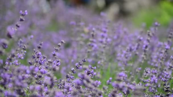 Lavender flowers macro purple nature close up 4k video