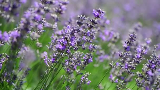 Levendula virágok makro lila természet közelről 4k videó