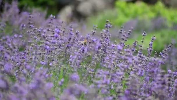 Levandule květiny fialová příroda zavřít 4k video