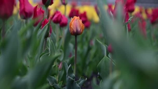 Szép tulipán színes tavaszi virág ébredés természet 4k videó