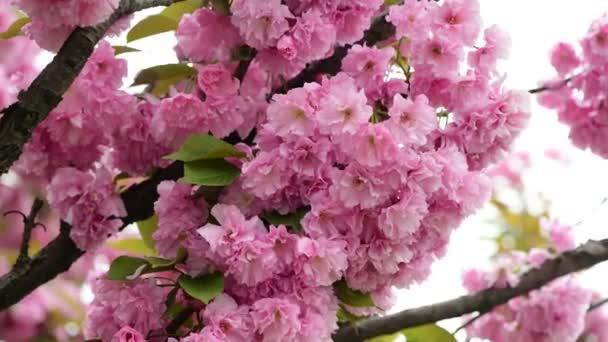Sakura Tree květiny uzavřít makro příroda jaro čas Flora 4k video