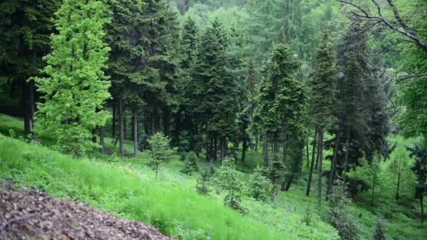 Tavaszi zöld fenyő erdei természet 4k videó táj montain Ukrajna