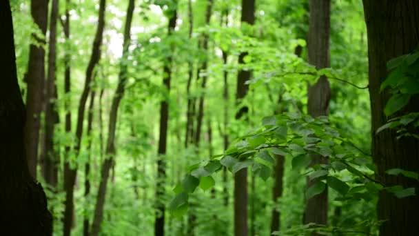 Jarní zelený Les zanechává barevnou přírodu probuzení 4k video
