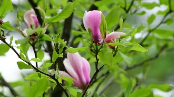 Pěkná Jarní květina Magnolia větev přírodní makro 4k video zblízka