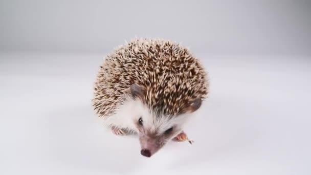 A hedgehog walking over white background.