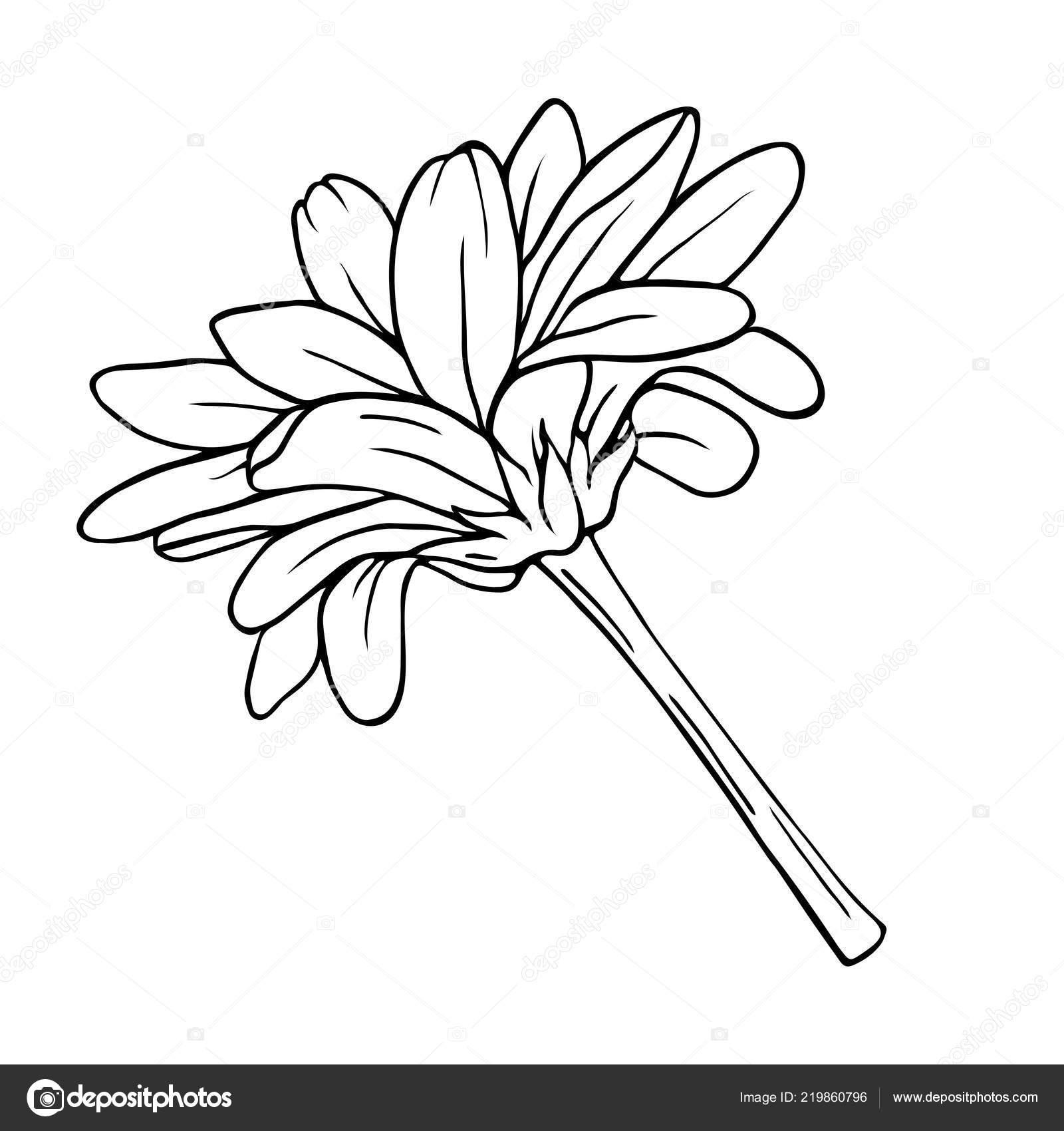 Chrysanthemumor Margherita Camomilla Sagoma Fiore Isolato Priorità