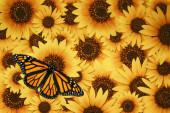 Monarch motýl (Danaus plexippus) na krásné divoké slunečnicové květy pozadí