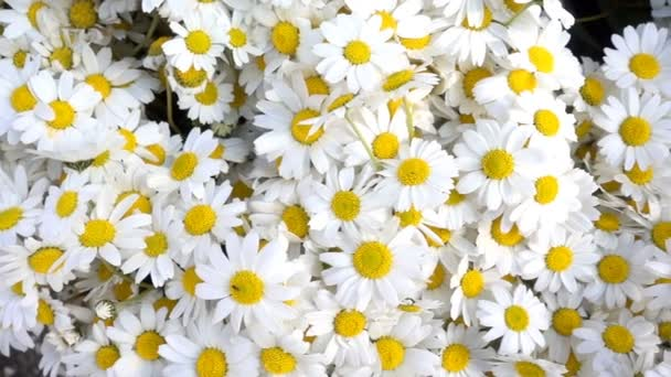 White daisy flowers and beautiful flowers