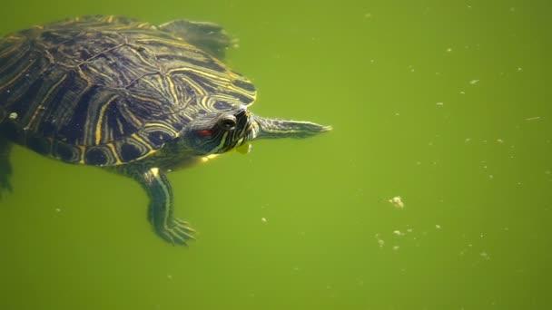 Turtle van a zöld-tó