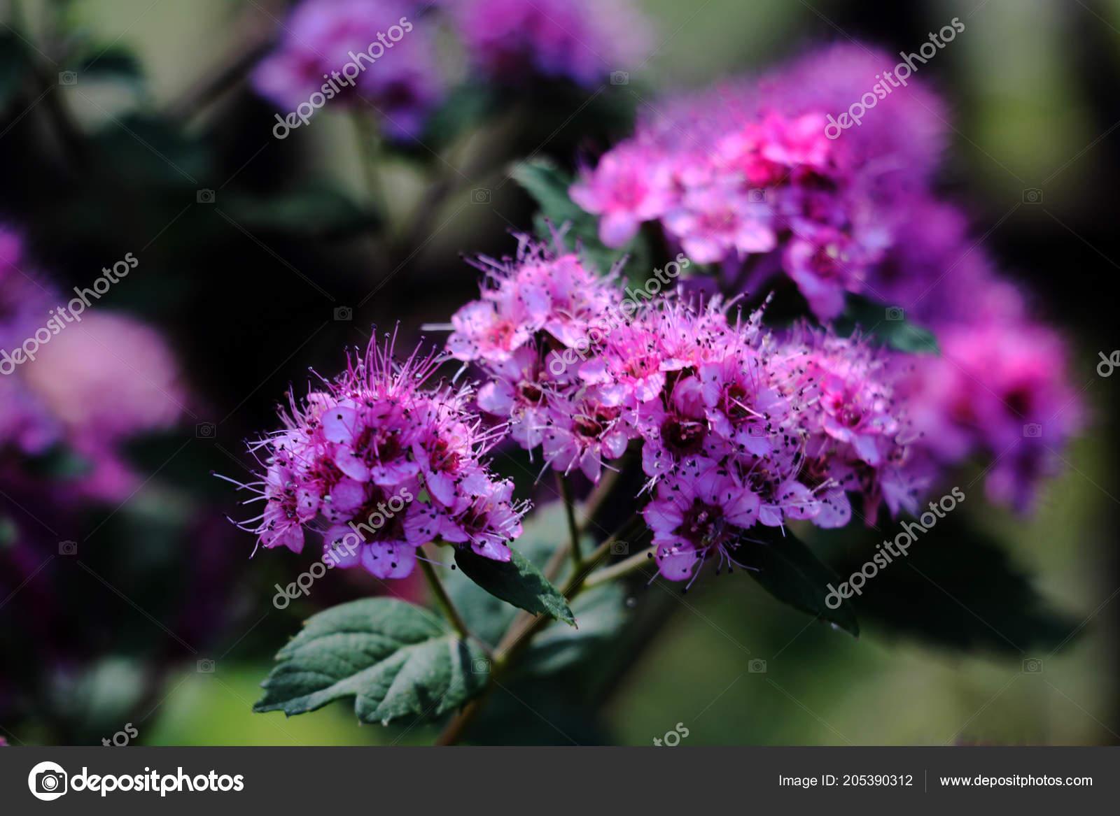 Branche Spiree Spiraea Floraison Spirea Cinerea Par Roses Petites