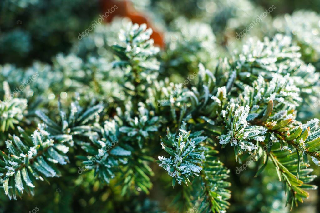 Frozen and covered with frost pine tree branch on an early winter morning, close up view