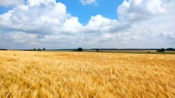 Ve dne se na zlatém poli Spikelets žlutě zralé pšenice. Hroty organického žita se houpat ve větru.