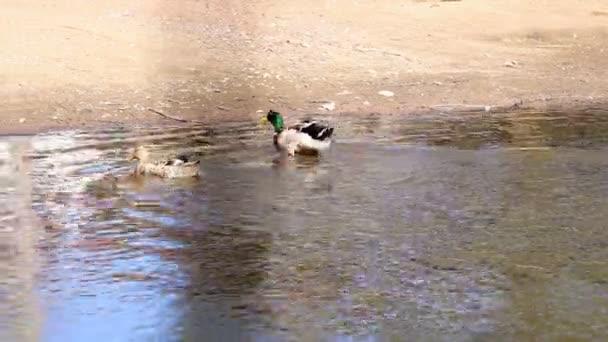 Enten schwimmen im Teich. An Land gehen und zittern.