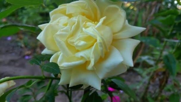 Gyönyörű sárga kert emelkedett a közelben. Természet