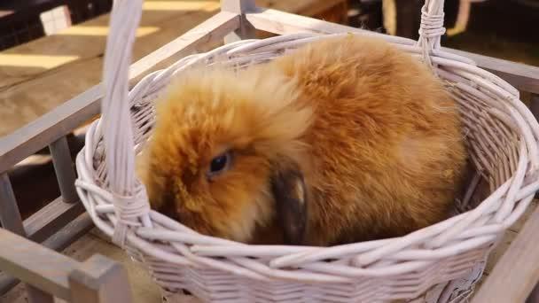 Ein flauschiges Kaninchen im Korb frisst eine Möhre.