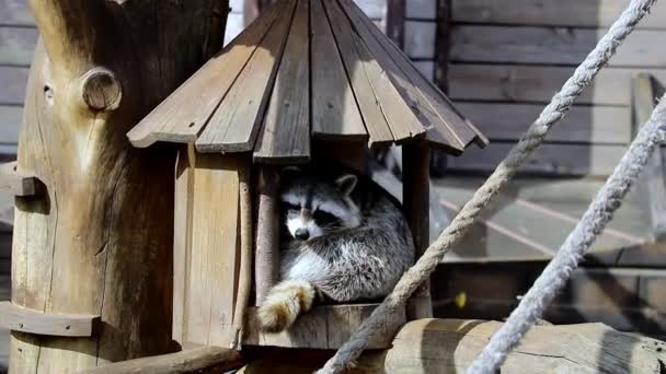 A raccoon is sitting in a small wooden house.