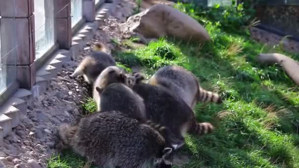 Raccoons in a group are looking for food in the grass.