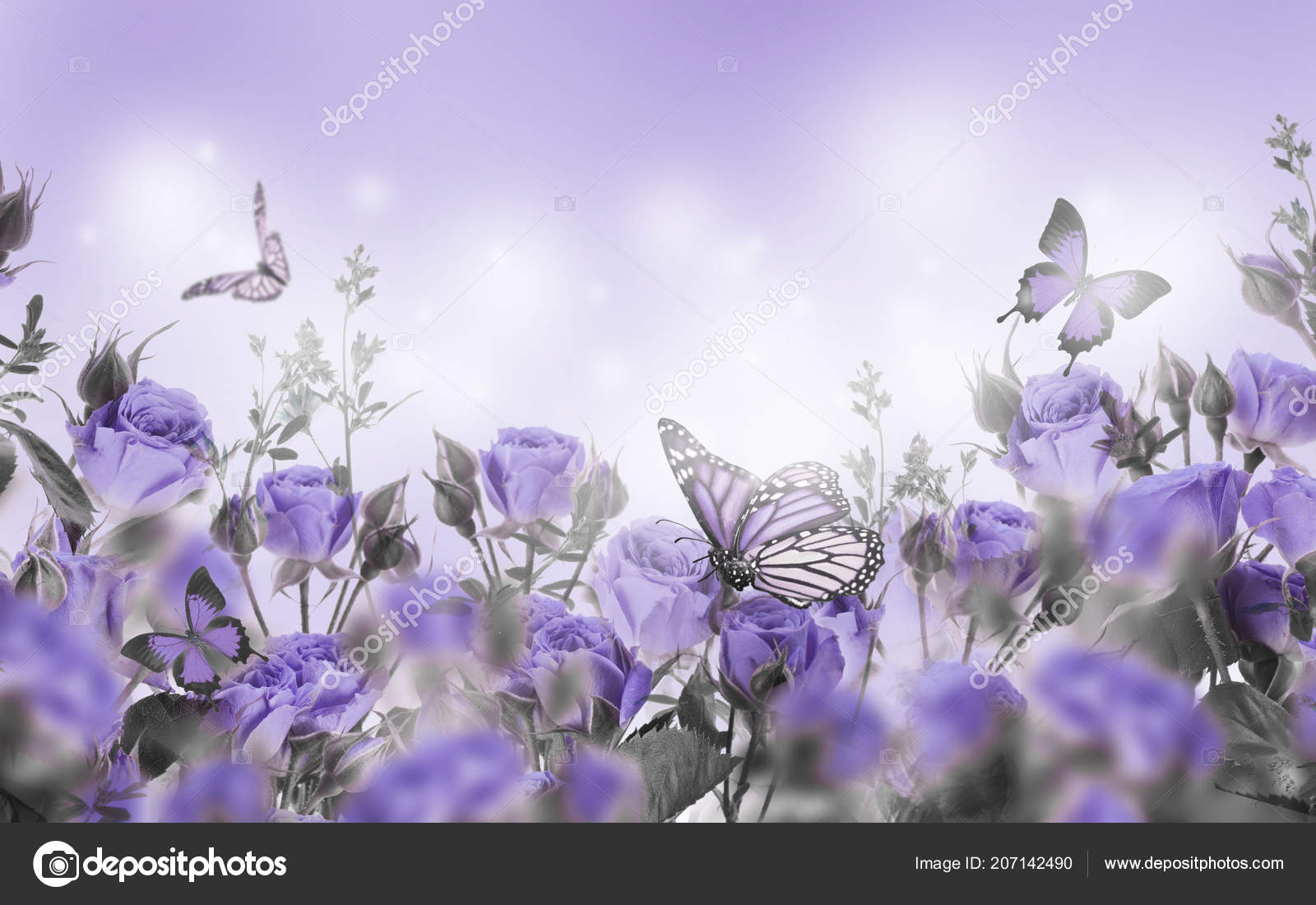 Close Violet Roses Butterflies Floral Background Stock Photo