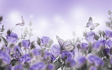 close up of violet roses and butterflies, floral background