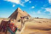Fotografie Egypt Cairo - Giza. General view of pyramids and camel