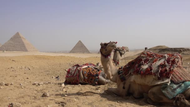Egypt Cairo - Giza. General view of Pyramids with a camel of front