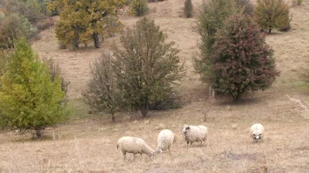 Ovce v poli. Stádo ovcí pasoucí se v kopcích krásné zemědělské půdy. Krajina venkovská podzimní krajina. Skupina ovce pastvy ve výběhu na farmě.