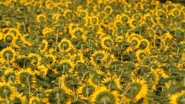 Slunečnicová pole. Zářivé slunečnice pole detail s mnoha žlutými květy, panorama v létě