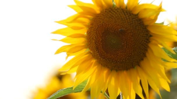 Slunečnicová pole. Zářivé slunečnice pole detail s mnoha žlutými květy, panorama v létě.