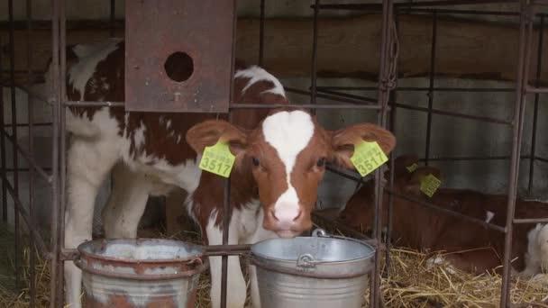 niedliche Kälber in einem Bauernhof Kuhstall. Großaufnahme-Babykuh (bos taurus), die sich auf dem Bauernhof von Milch ernährt. Milchkühe auf einem Bauernhof. moderner Stall mit Milchkühen. Kälber im Stall. Landwirtschaft, Landwirtschaft und Tierhaltung Konzept, Kuhherden.