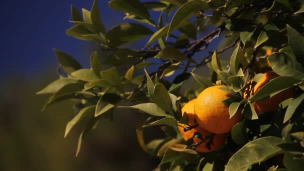 Orange tree in the South Europe. Cityscape with orange trees