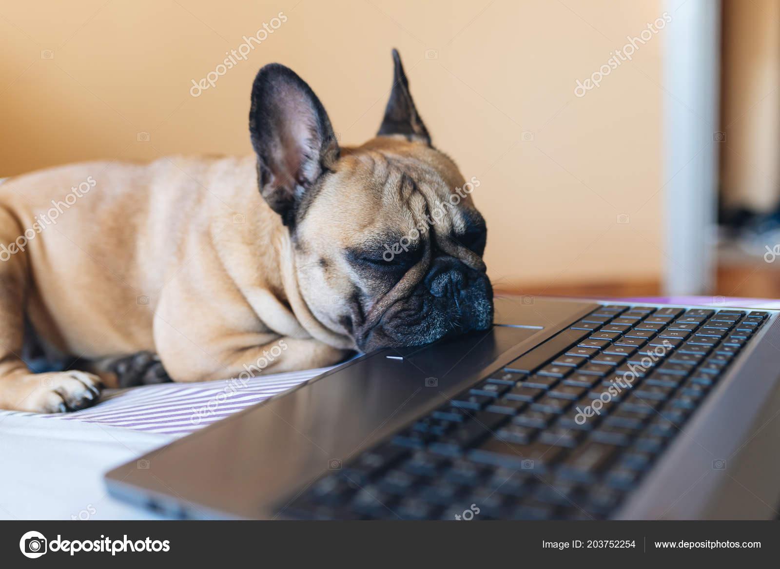 Cute French Bulldog Puppy Sleeping Bed Next Laptop Stock Photo C Nenadovicphoto Gmail Com 203752254