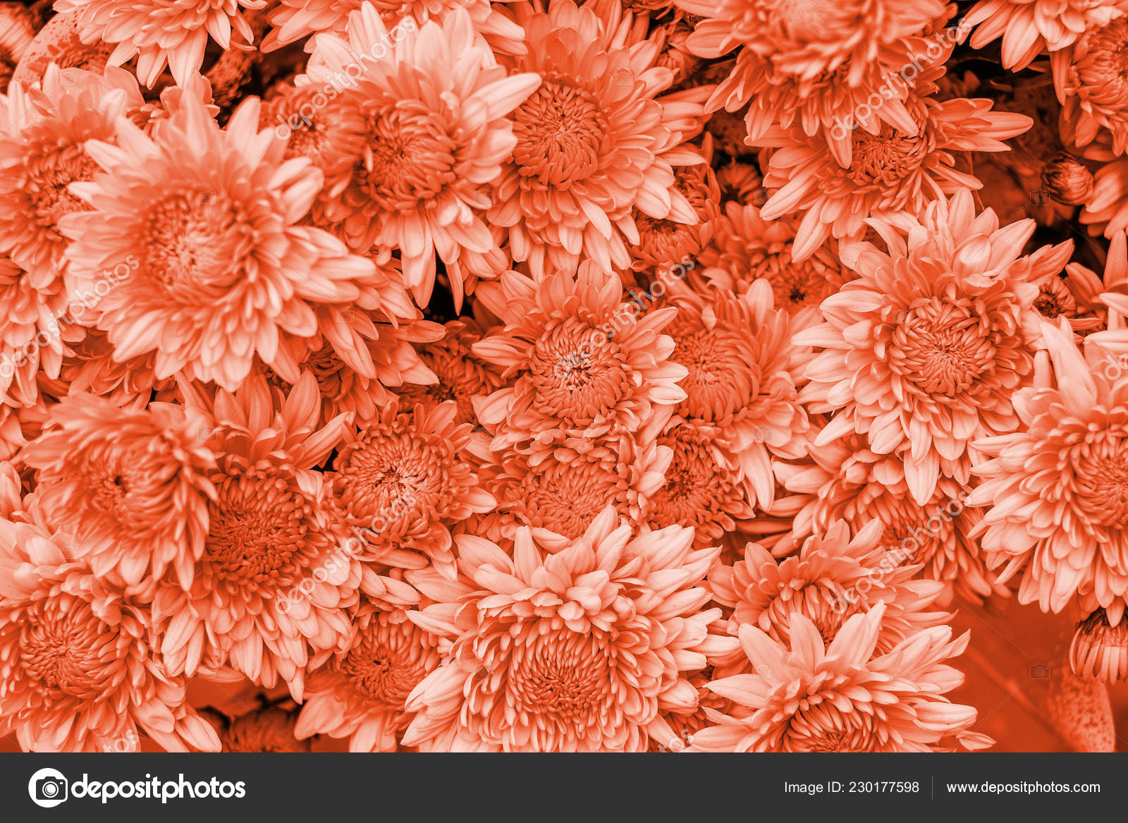 Coral Chrysanthemum Flower Background Stock Photo