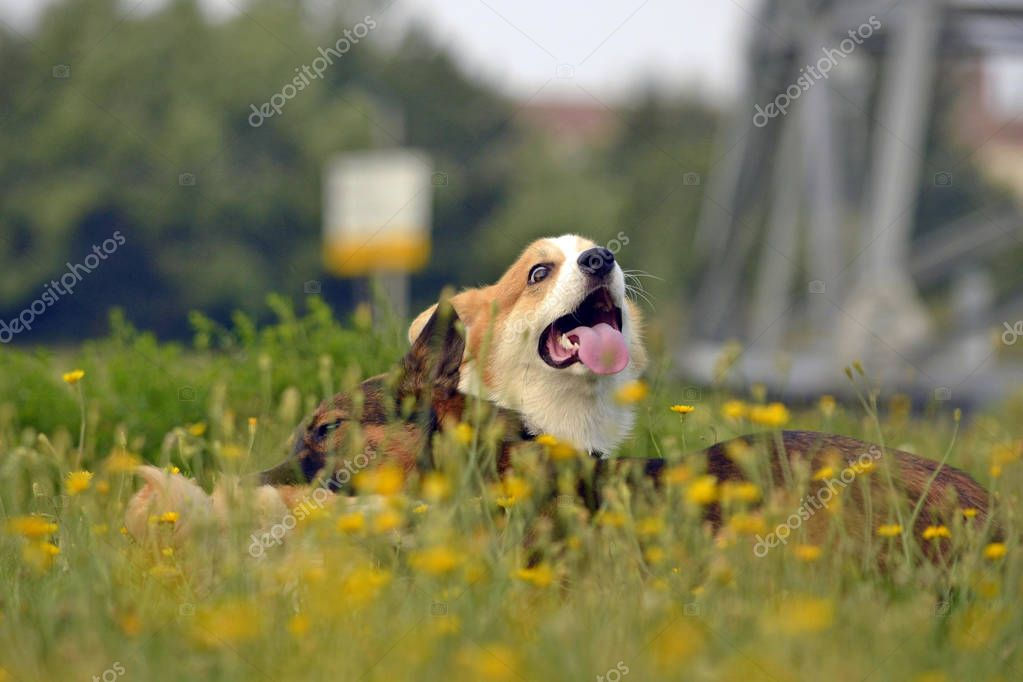 Dogs play with each other. Puppy Corgi pembroke. Merry fuss puppies. Aggressive dog. Training of dogs. Puppies education, cynology, intensive training of young dogs. Whiskers, portrait, closeup, bokeh. Enjoying, playing.Young energetic dogs on a walk