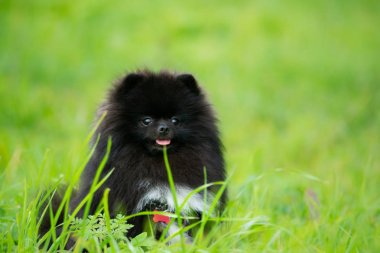 Puppy Pomeranian Spitz listens to the owner and performs functions on the command. Obedient and intelligent dog. Education, cynology, intensive training of young dogs. Young energetic dog on a walk. Enjoying, playing. Happy