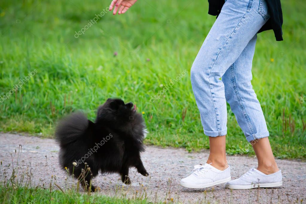 Puppy Pomeranian Spitz listens to the owner and performs functions on the command. Obedient and intelligent dog. Education, cynology, intensive training of young dogs. Young energetic dog on a walk.