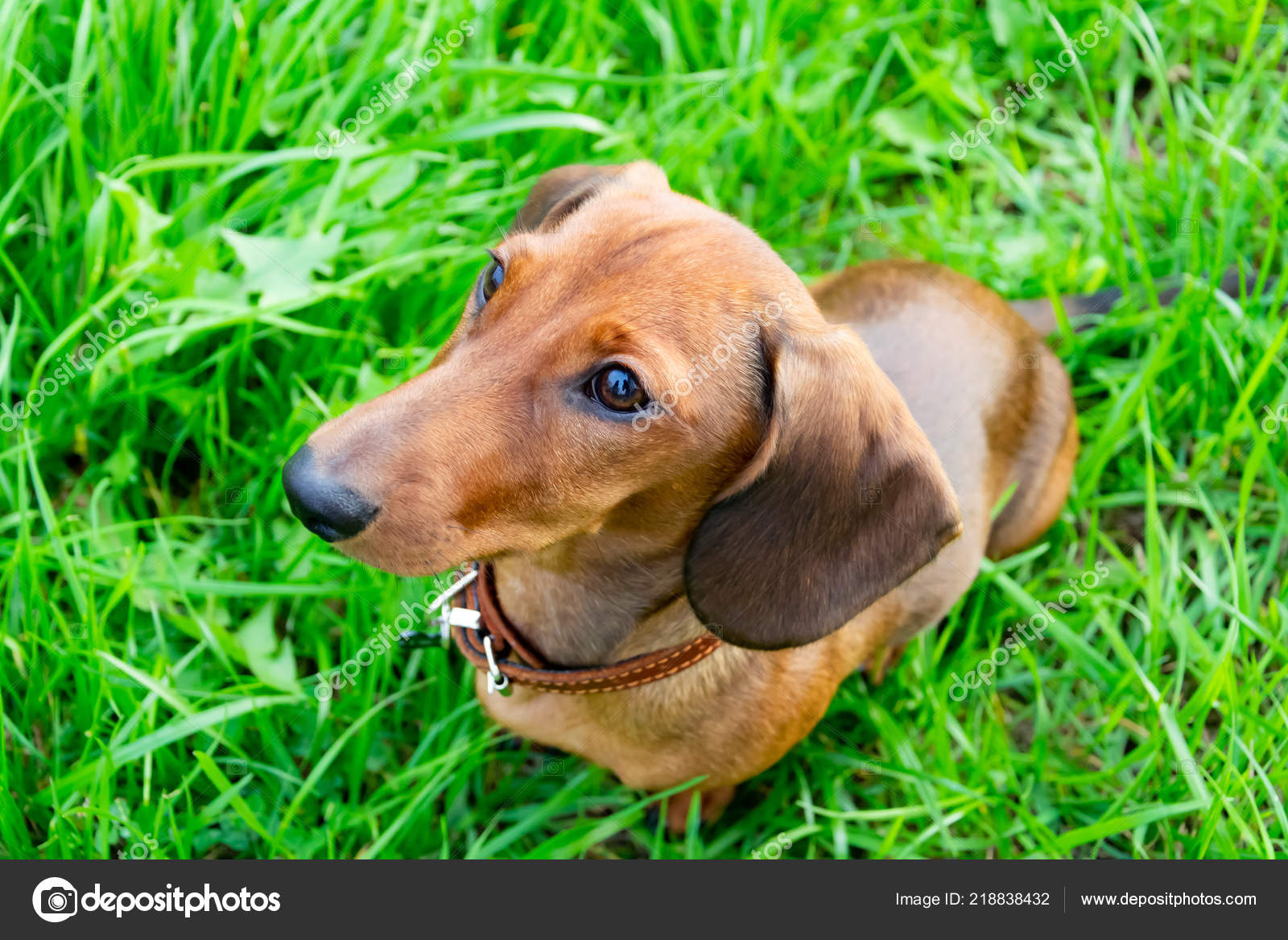 Miniature Dachshund Puppy Its Owner Young Energetic Dog Running Walk Stock Photo C Taisyakorchak 218838432