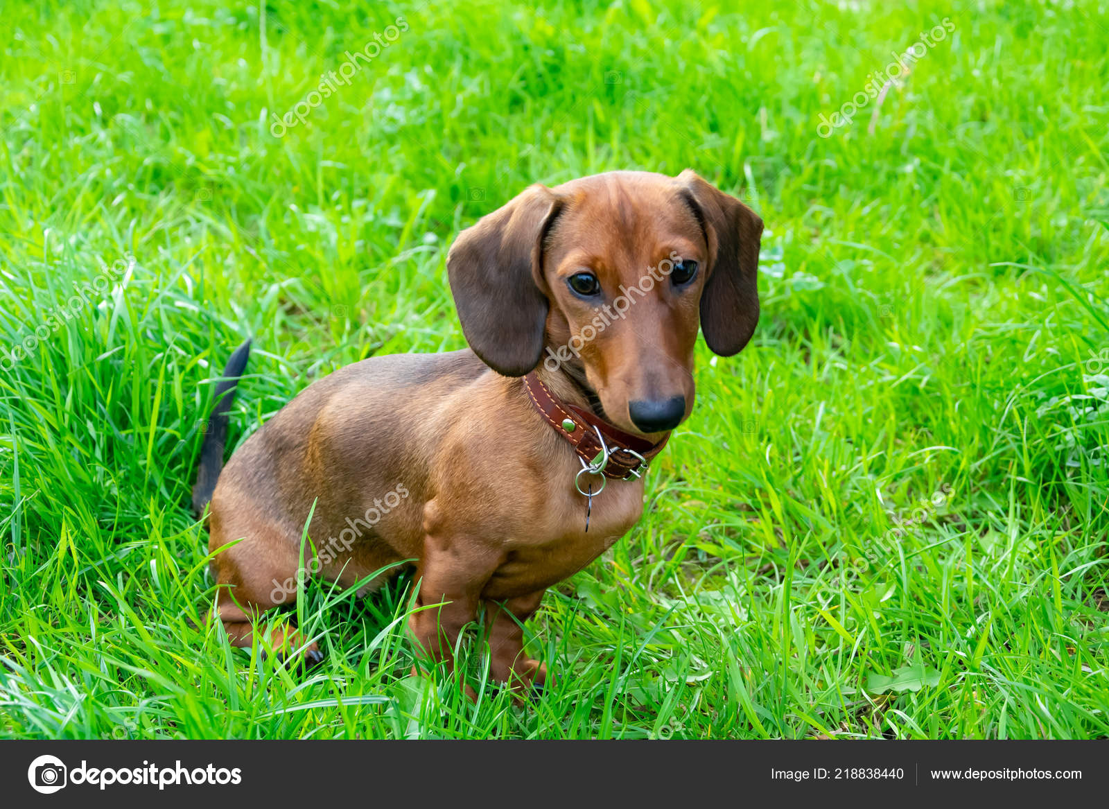 Miniature Dachshund Puppy Its Owner Young Energetic Dog Running Walk Stock Photo C Taisyakorchak 218838440