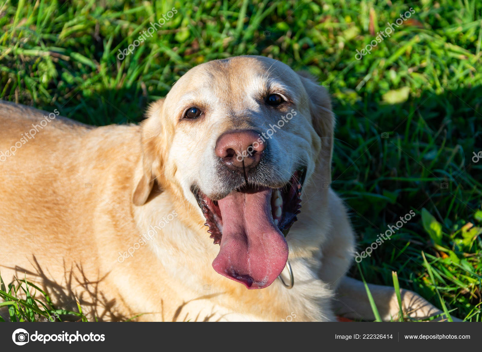 Sunstroke Health Pets Summer Labrador Dogs Play His Owner