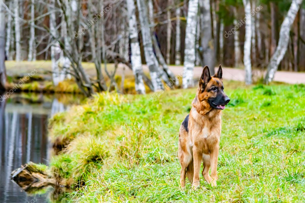 Old German Shepherd Dog standing on the Pond. Harmonious relationship with the dog: education and training