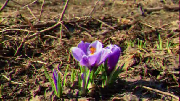 Glitch effect. Flowers bloom in spring. Time Lapse. Video