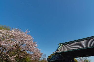 Cherry blossom in Tokyo Imperial Palace